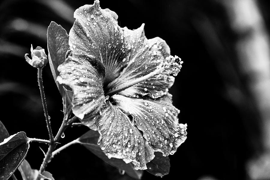 Flower photograph hibiscus flower in black and white by anya brewley schultheiss