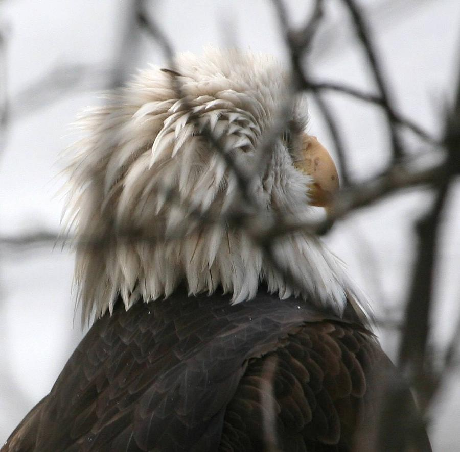 Bald Eagles Digital Art - Hidden In The Branches by Carrie OBrien Sibley