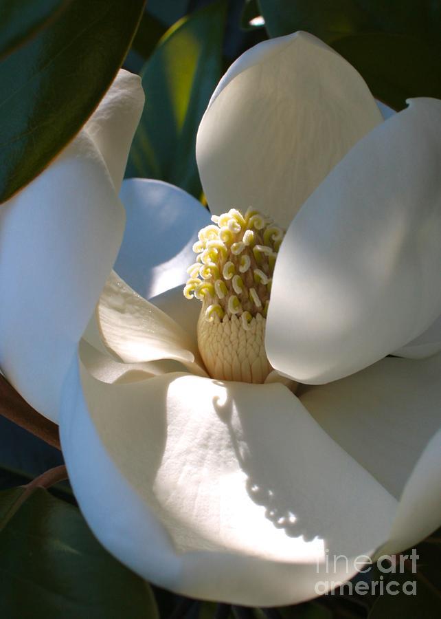 Magnolia Photograph - Hidden Magnolia by Carol Groenen