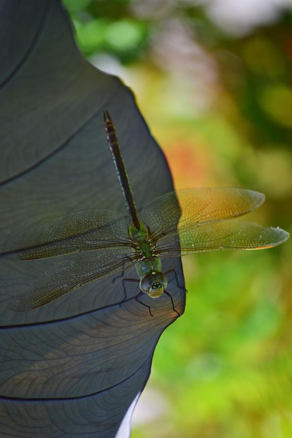 Dragonfly Photograph - Hiding Out by Melanie Moraga
