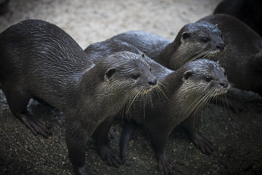 Otters Photograph - High Alert by Zoe Ferrie