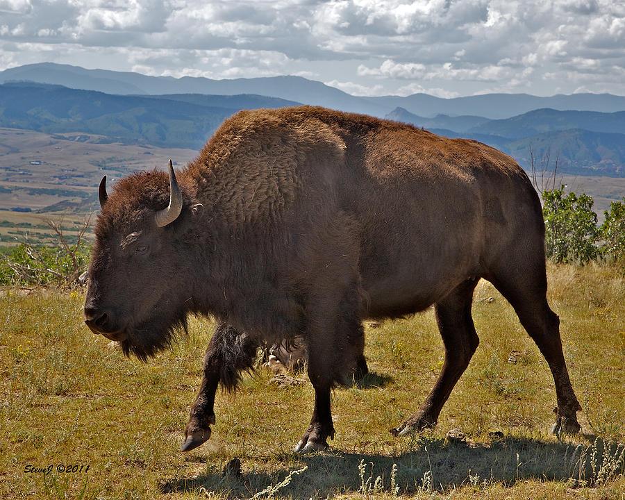 Buffalo Photograph - High Plains Buffalo by Stephen  Johnson
