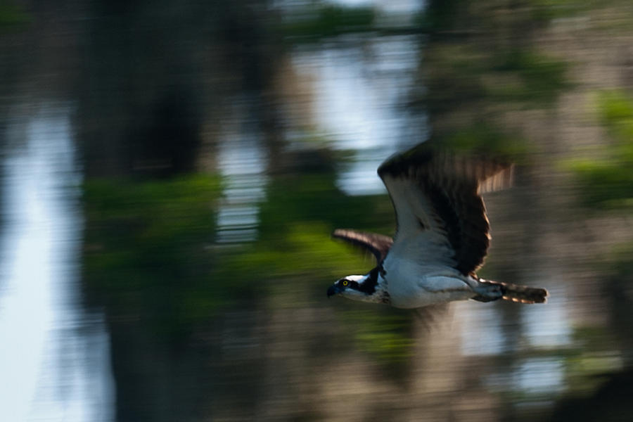 Osprey In Flight Photograph - High Speed Pass by Frank Feliciano