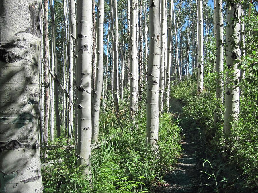 Hiking Through Aspens At Beaver Creek Photograph