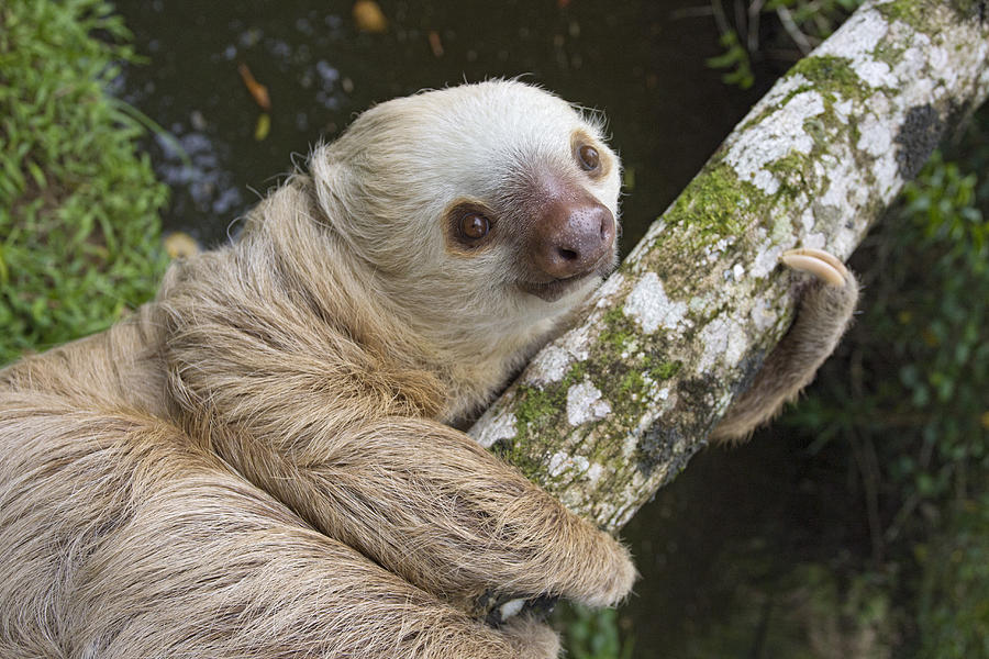 Mp Photograph - Hoffmanns Two-toed Sloth Costa Rica by Suzi Eszterhas