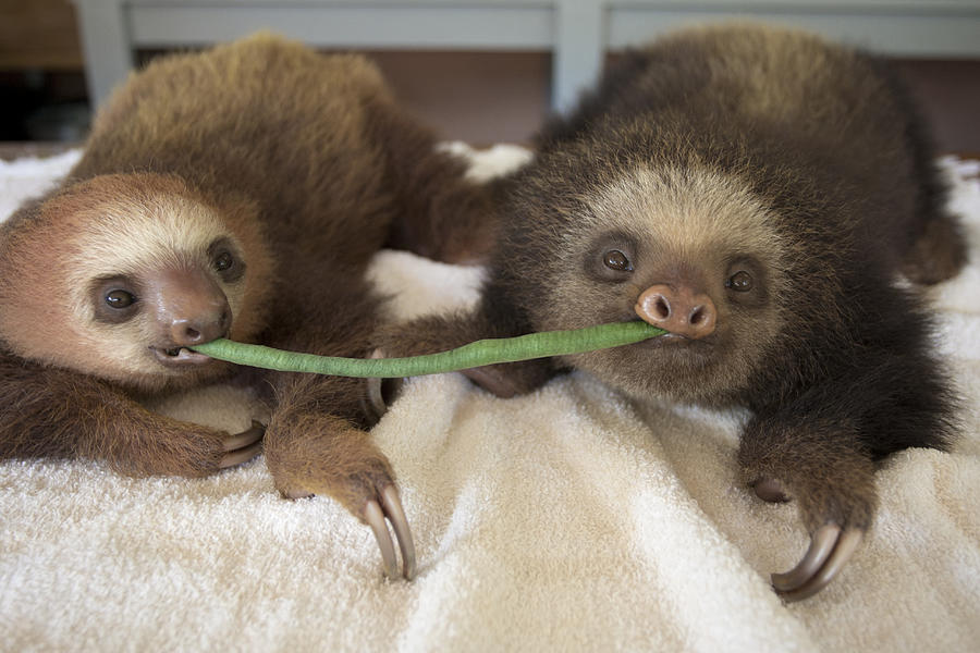 Mp Photograph - Hoffmanns Two-toed Sloth Orphans Eating by Suzi Eszterhas
