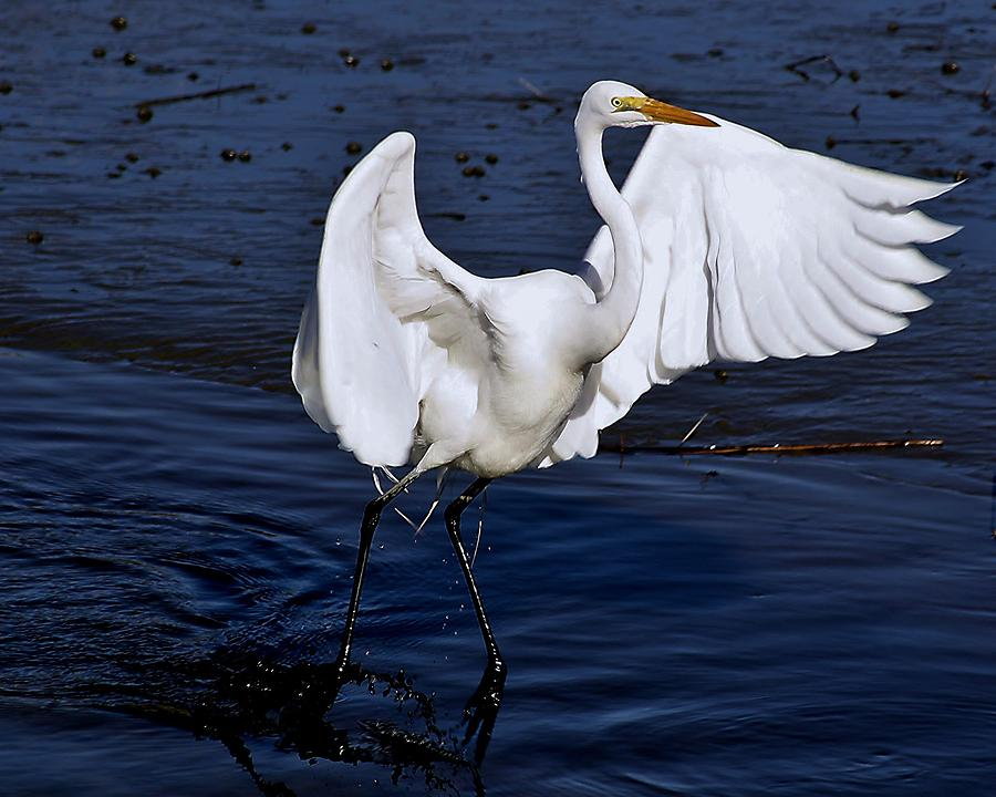 Great White Egret Photograph - Hold On Im Coming by Paulette Thomas