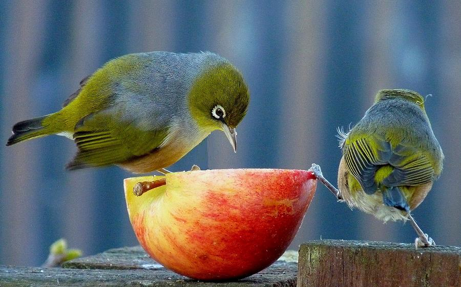 Small Birds Photograph - Holding The Apple Up by Andrea Lightfoot