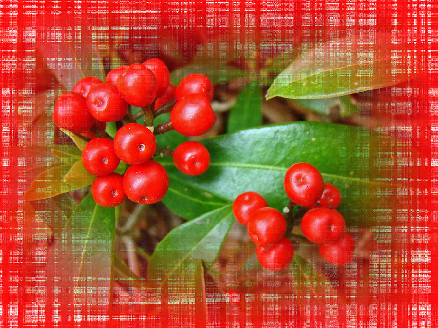 Holly Photograph - Holly Berries by Mother Nature