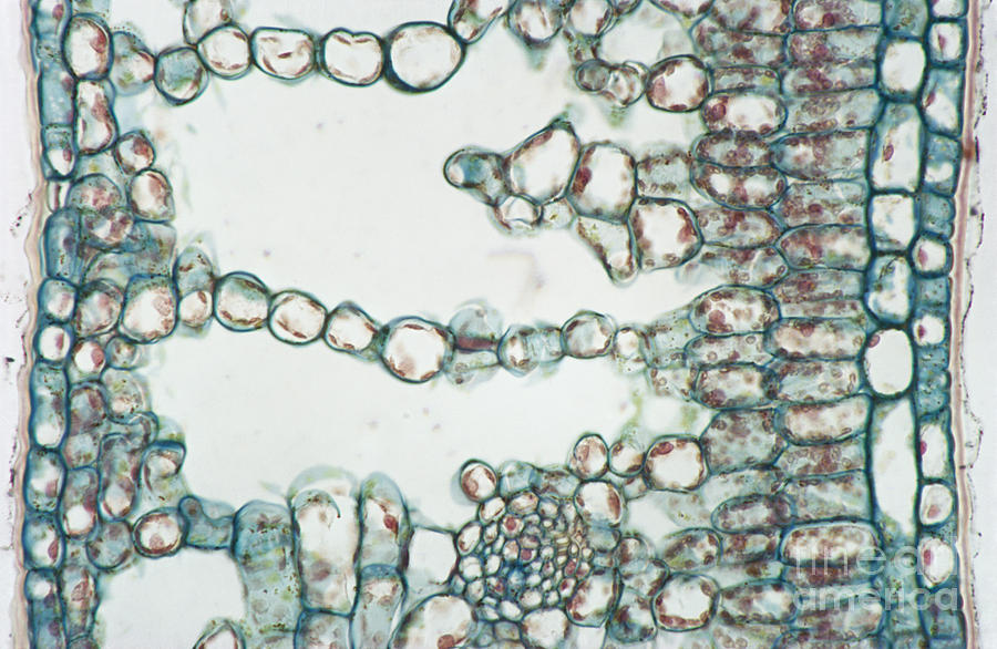 Holly Leaf Palisade Cells Photograph by M. I. Walker