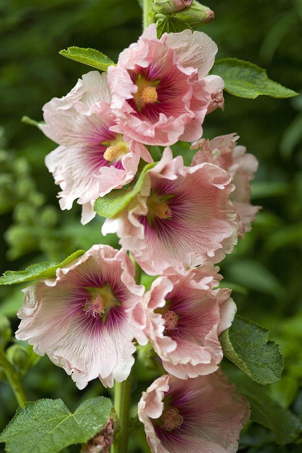 Althea Rosea Photograph - Hollyhock (alcea Rosea) by Dr Keith Wheeler