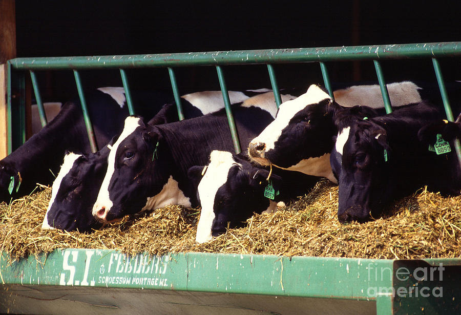 Cow Photograph - Holstein Dairy Cows by Photo Researchers
