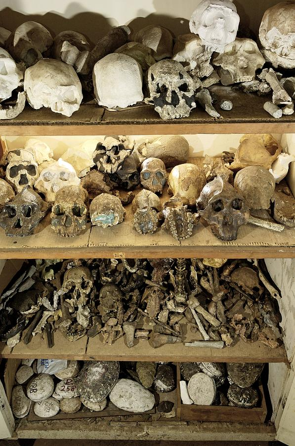 Human Photograph - Hominid Skull Casts by Volker Steger