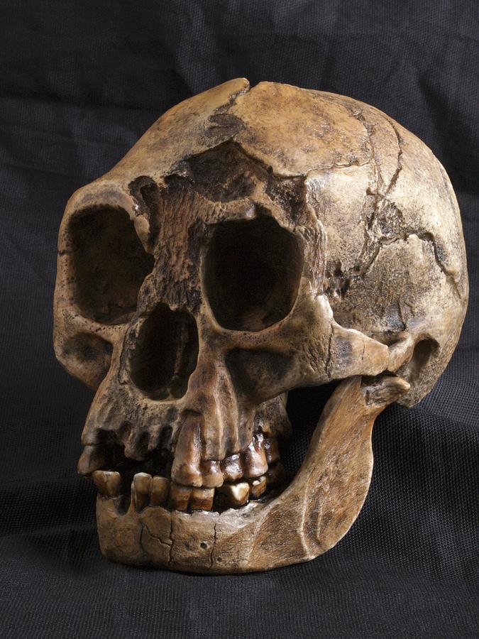 Homo Floresiensis Photograph - Homo Floresiensis Skull by Javier Truebamsf