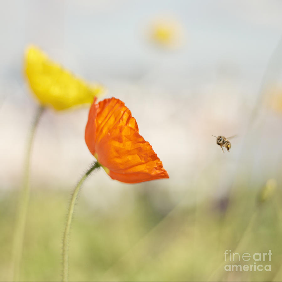 honey bee and colorful poppies photograph by susan gary, Beautiful flower