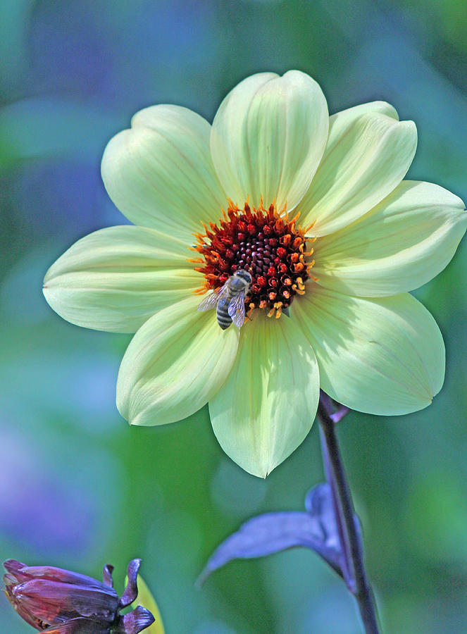 Becky Photograph - Honeybee On Yellow Flower by Becky Lodes