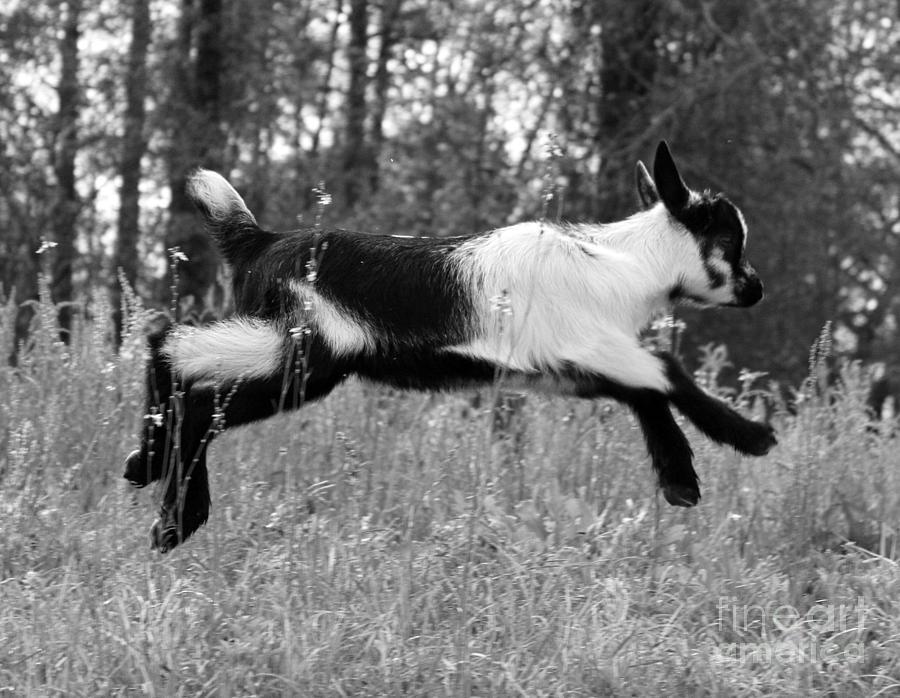 Jumping Goat Photograph - Hop Skip Jump by Christean Ramage