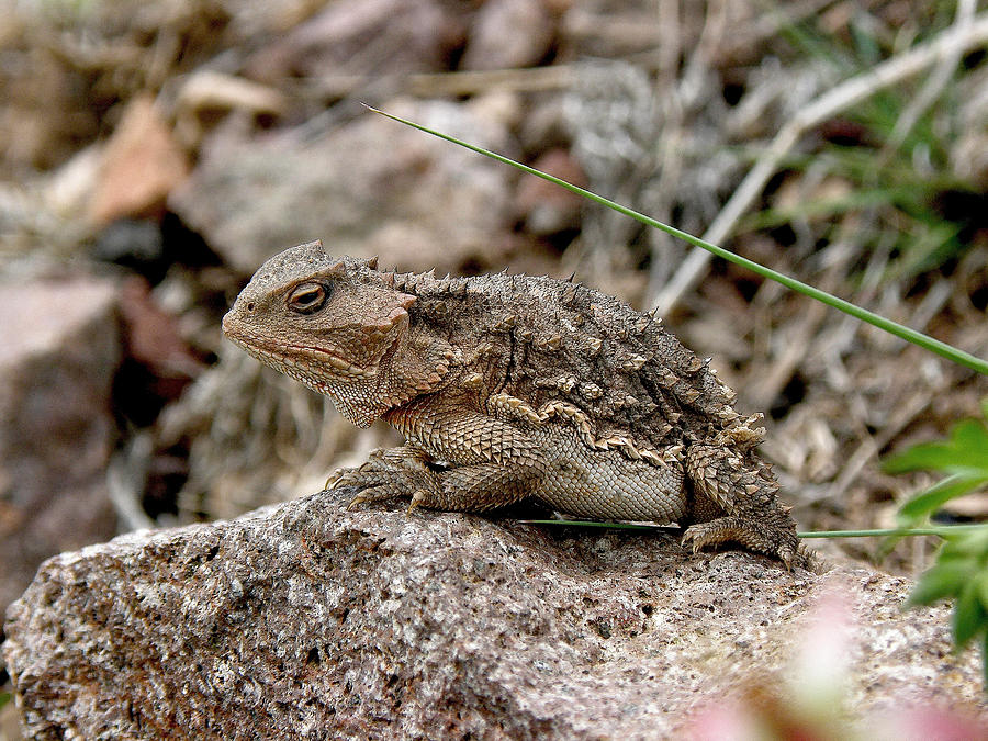 Horned Toad Photograph - Horned Toad by FeVa  Fotos