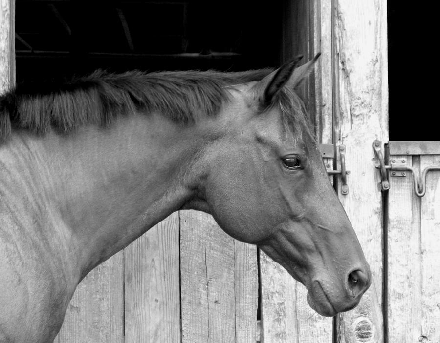 Horse photograph horse portrail black and white by sandi oreilly
