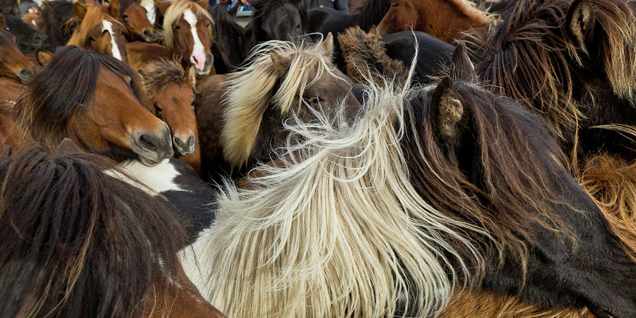 Horizontal Photograph - Horse Round-up by Arctic-Images