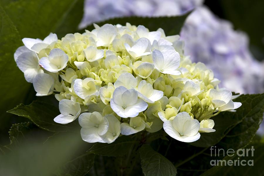 Hortensia Photograph - Hortensia by Patty Malajak