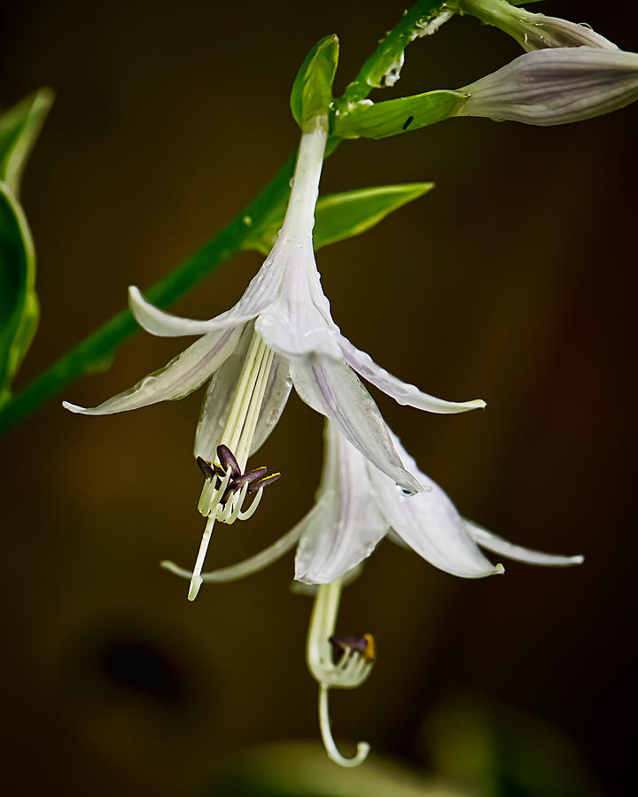 Location Photograph - Hosta Bells by Michael Putnam