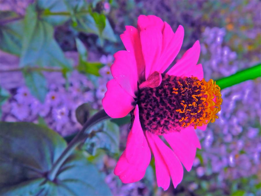 Echinacea Photograph - Hot In Pink by Randy Rosenberger