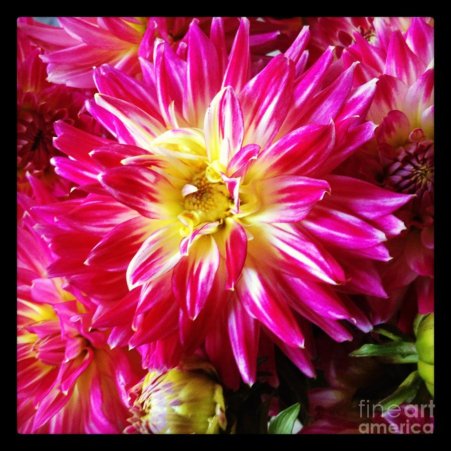 Dahlias Photograph - Hot Pink Dahlias by Ruby Hummersmith