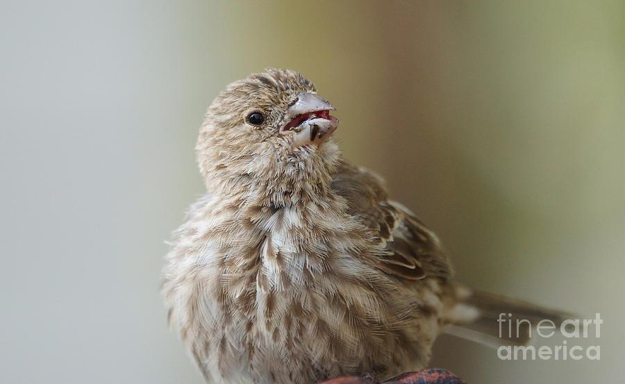 Birds Photograph - House Finch Profile by Lori Tordsen
