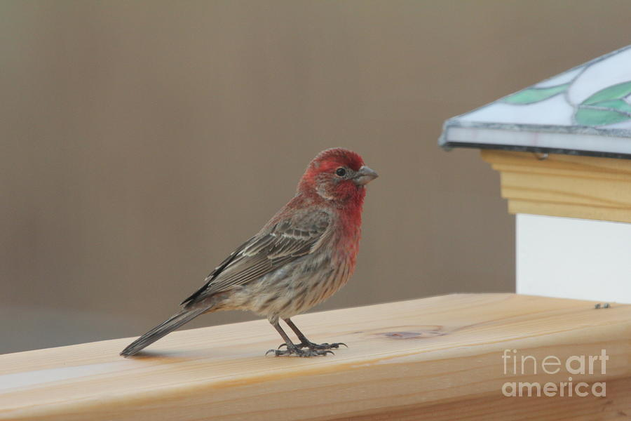 House Finch Photograph - House Finch by Scenesational Photos