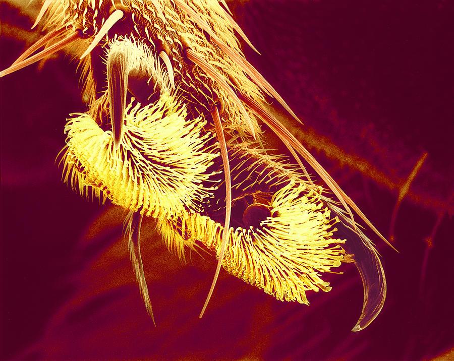 Hover Fly Photograph - Hover Fly Foot, Sem by Susumu Nishinaga
