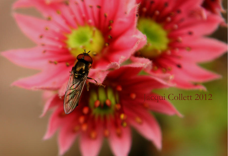 Hoverfly Photograph - Hover Fly II by Jacqui Collett