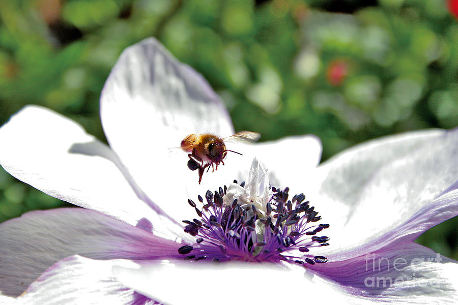 Hover Bee Flower Plant Honey Peals Plant Growth Garden Digital Art - Hovering by David Taylor