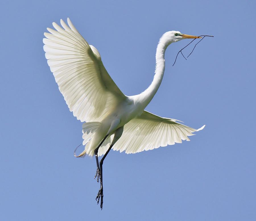 Great White Egret Photograph - Hovering by Paulette Thomas