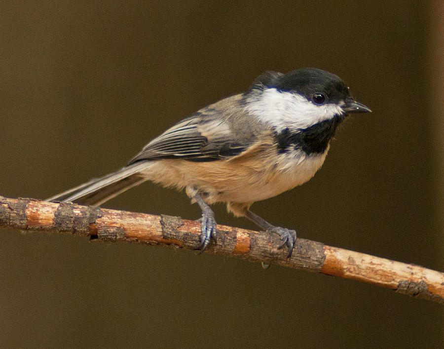 Chickadee Photograph - How Is This Pose by Don Wolf