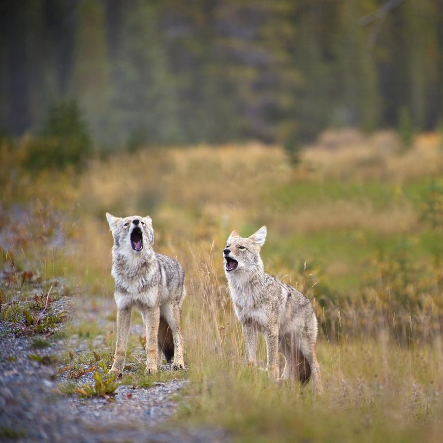Howling Coyotes Canis ...
