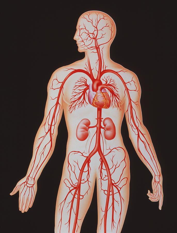 Arterial Circulation Photograph - Human Arterial System by John Bavosi