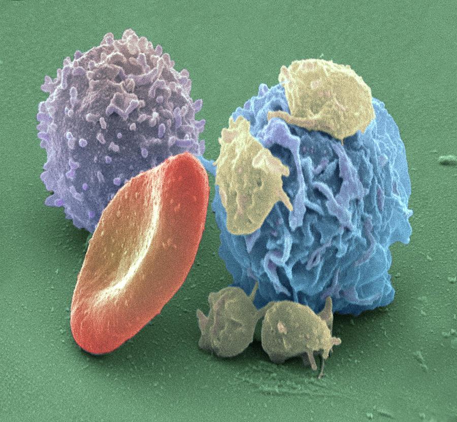 Blood Cells Photograph - Human Blood Cells, Sem by Steve Gschmeissner