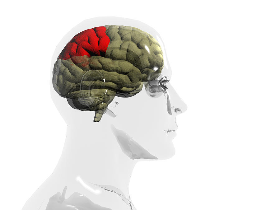 Human Body Photograph - Human Brain, Parietal Lobe by Christian Darkin