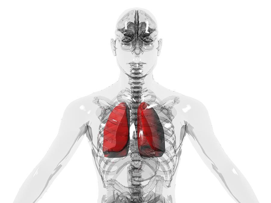 Man Photograph - Human Lungs by Christian Darkin