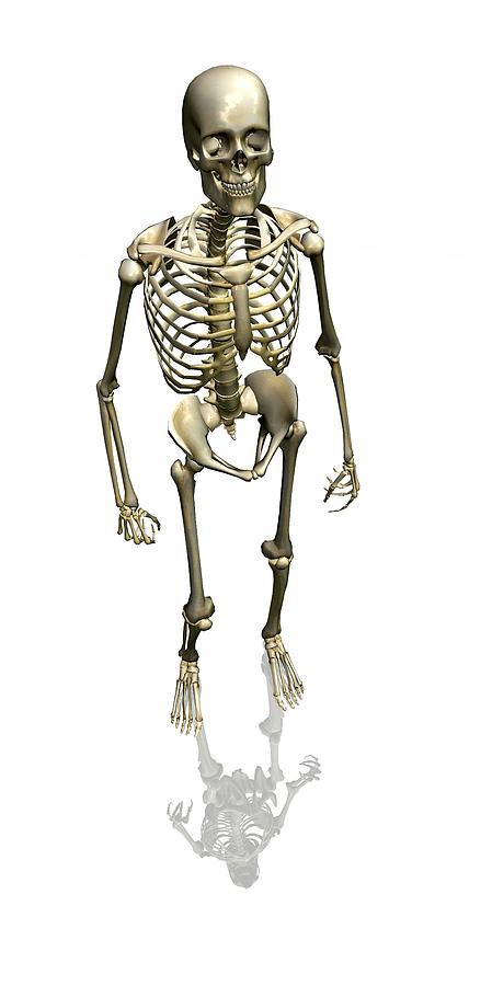 Skeleton Photograph - Human Skeleton, Artwork by Friedrich Saurer
