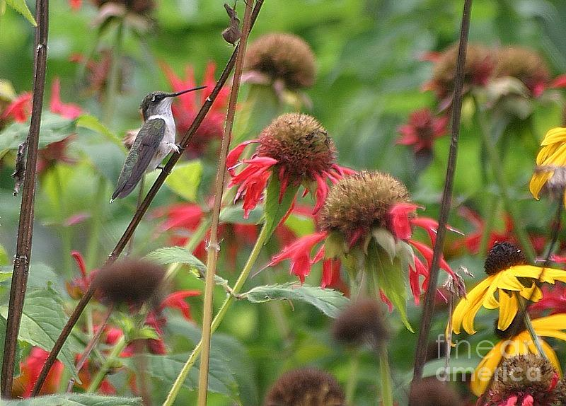 Hummingbird Photograph - Hummer At Rest by Living Color Photography Lorraine Lynch