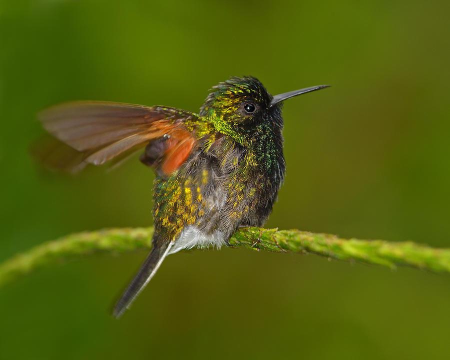 Humming Bird Photograph - Humming Along by Tony Beck