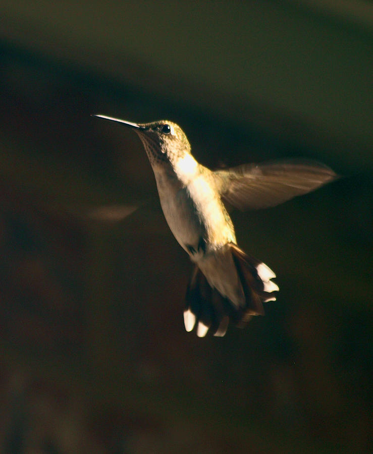 Bird Photograph - Humming by Kim Schmidt