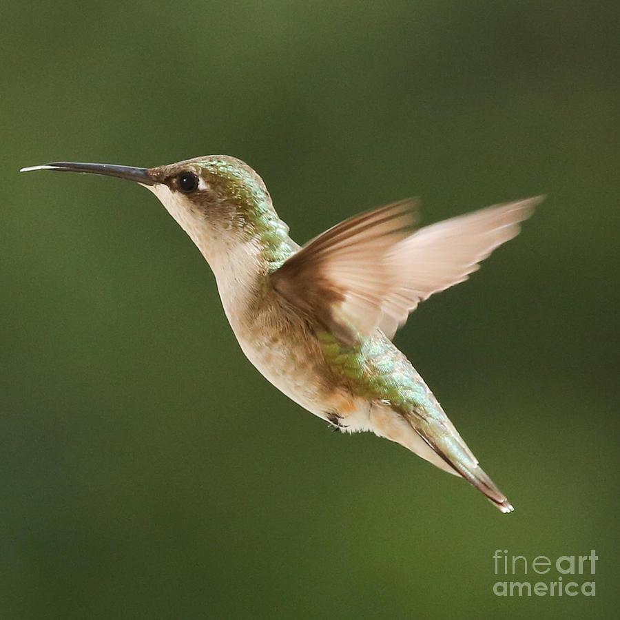 Digital Prints Photograph - Hummingbird 1 by Lori Whalen