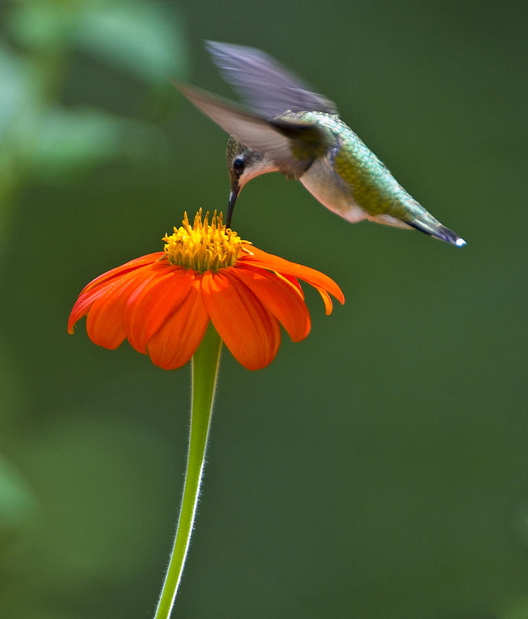 Hummingbird And Mexican Sunflower Photograph By Eva Jo Wu