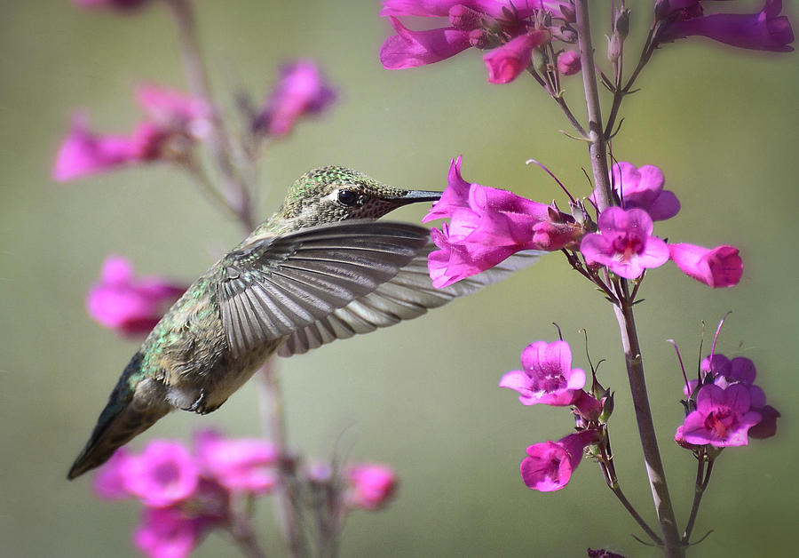 Hummingbird And Spring Flowers Photograph By Saija Lehtonen