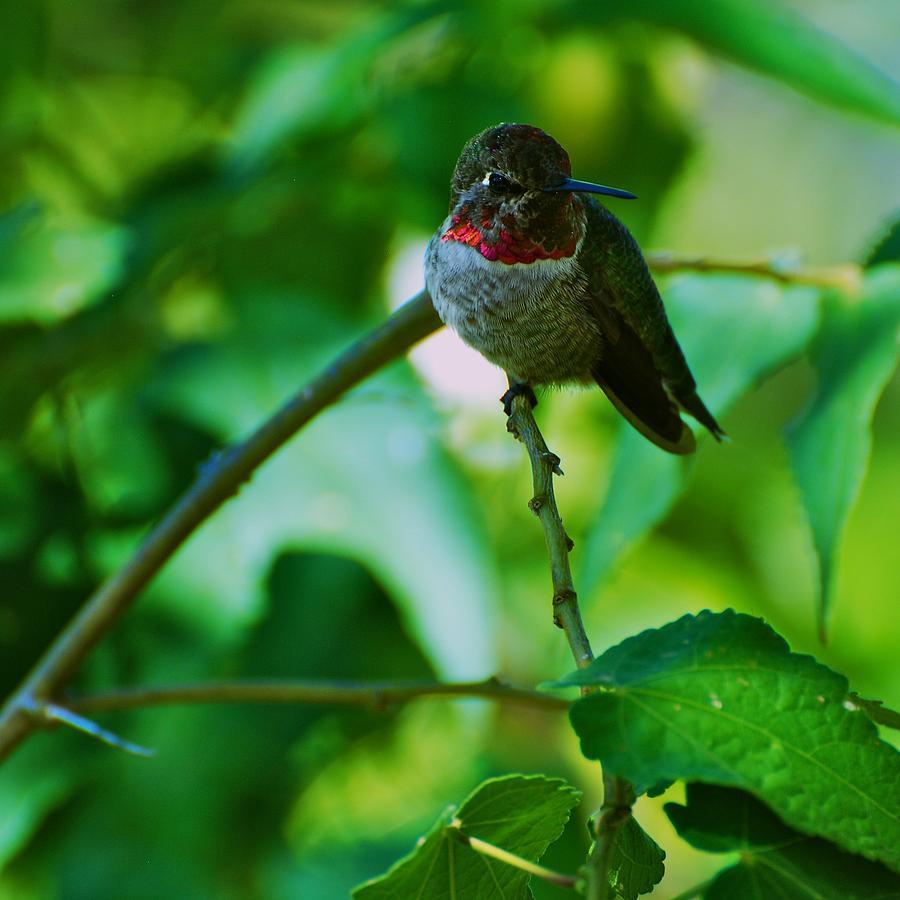 Hummingbird Photograph - Hummingbird At Rest by Eric Tressler