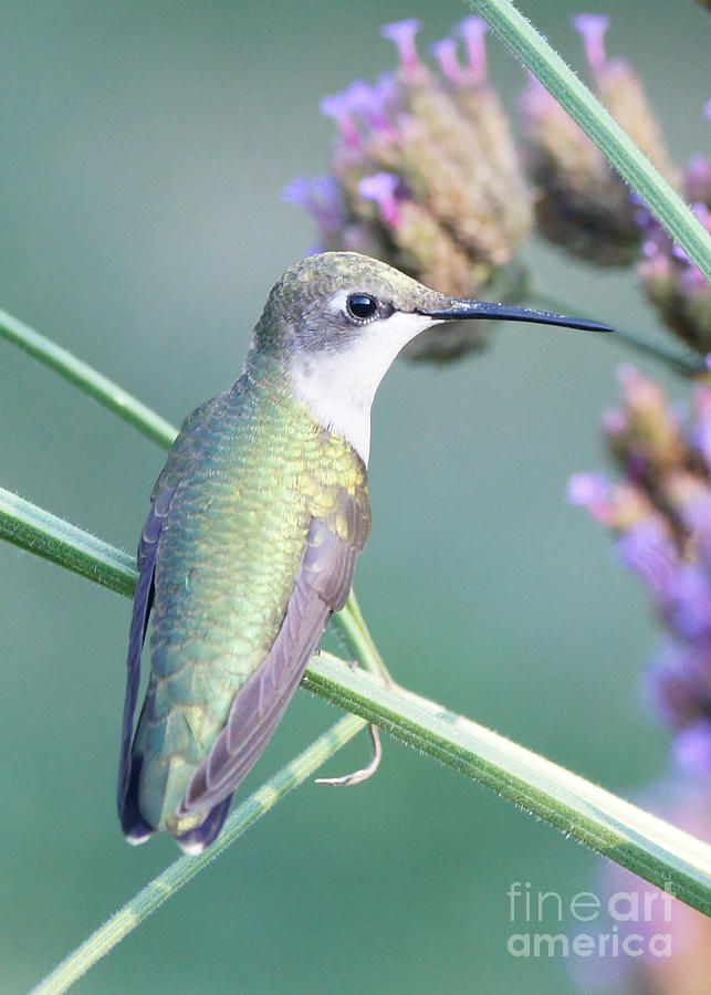Hummingbird Photograph - Hummingbird At Rest by Robert E Alter Reflections of Infinity