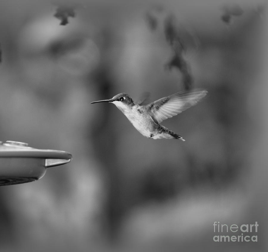 Bird Photograph - Hummingbird  Black And White by Donna Brown